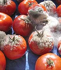 tomatenschimmel